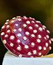 Commercial Web Diggins - Mushroom